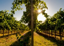 Vineyard Cantina Capari