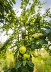 Ottilie, apple farm