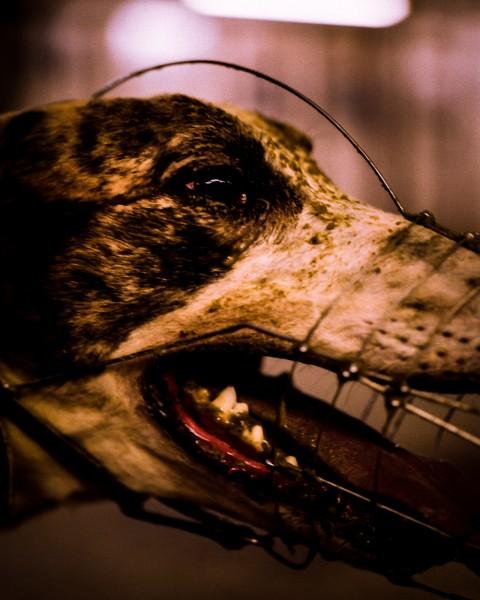 Greyhound portrait